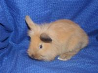 Minnie Is The Cutest Lionhead Bunny Looking For Her