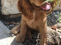 Molly is a cute and lovable cocker spaniel pup in need