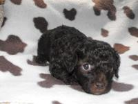 Meet Scruffy, He is a toy poodle, his mommy is a brown
