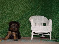 At Mystic Mountain Kennels we breed Yorkshire Terrier