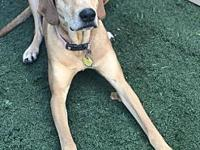 Meg / Molly's story MOLLY Breed: Redbone Coonhound &