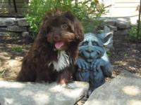 Megan is a chocolate female toy aussiedoodle.She is CKC