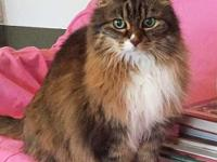 Megan is a gorgeous 17 year old Maine Coon, whom we