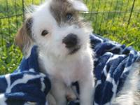 Hi! I'm Meggie. I'm a 10 week old terrier/shih tzu mix