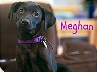 My story Meghan: 4 months old, Chocolate/black, spayed