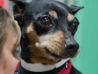 Mei Mei is a 5-year-old miniature Pinscher who came to
