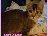 My story MELANIE - F, DSH, Brown Tabby, approximately 3