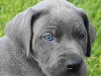 Melody is an AKC Euro/American color pure blue female