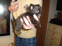 BEAUTIFUL BLACK AND brindle LONG COAT MALE. 650 CALL