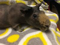 Meet Melvin! This handsome skinny pig is looking for a