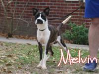 Melvin is a gorgeous Boston Terrier rescued from PAWS.