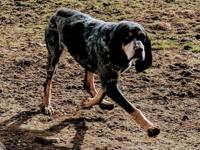 Memphis is a five year old bluetick coonhound. She is a