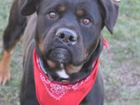 Hi! My name is Memphis. Im a two-year-old Rottweiler. I