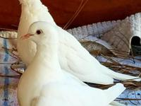 Memphis is an adorable little Ringneck dove who was