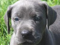 Mercedes is an AKC Euro/American color pure blue female