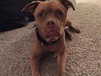 Mercedes's story I am a young fawn female boxer/staffy