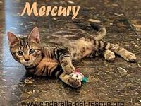 Mercury's story This beautiful marble tabby is sweet