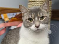 Meredith is a beautiful and regal girl.This grey tabby