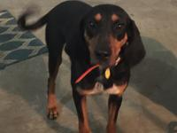 Mari-belle is a Black and Tan coonhound that came to us