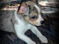Sweet smooth coat chihuahua male. Born August 16th. He