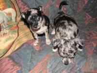 one male and one female merle chihuahuas born a week