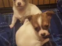 Two beautiful male Chihuahua puppies. They are 9 weeks