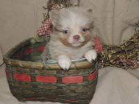 We have one tiny teacup girl available for a pet home.