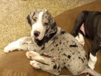 We are a small breeder which breeds our Harlequin AKC