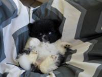7 week old Teddy Bear Merle Pomeranian (Female) small