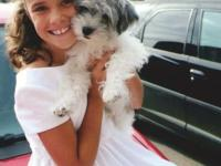 Blossom is my Blue Merle Schnauzer reproduced to my