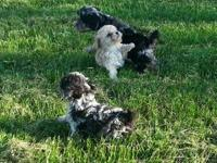 We have a beautiful Litter of Toy/Miniture Poodle