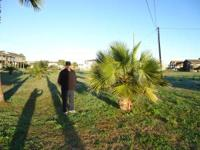 MEXICAN FAN PALM FOR SALE approximately 8-10' tall Come