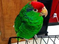 Pretty Mexican Red Head Amazon Parrot, 11 months 1/2