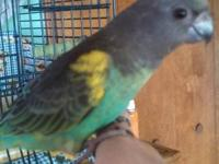 Meyers Parrott...5 months old..very nice bird...only