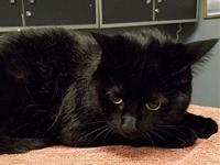 Mgee's story Mgee is a black Domestic Short Hair who is
