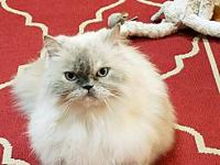 Mia's story Mia is a stunning 6 year old Himalayan