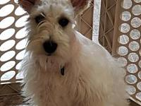 Mia's story Mia is an 8 month old purebred Schnauzer