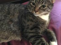 Mama Mia, or Mia, is a very beautiful DSH brown tabby