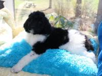 Six, Standard Poodle puppies for sale. Four males and