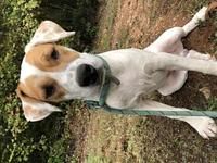 Mica's story Mica is a male lemon pointer/coonhound mix