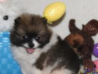 2 male and 1 female Pomerania puppies available. Only