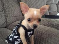 Adorable 13 week female chihuahua, she is only 1.5 lbs