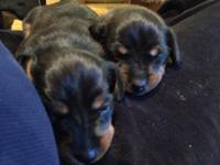 Taking Deposits for Tiny Micro Mini Female Pups Ready