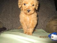 Meet Baby Bob. An F1b Micro Mini Goldendoodle who will
