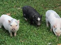 we have 3 male micro mini Julian mix piglets. These are
