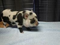 ***BEST BREEDER MINI PIGS IN TEXAS*** OUR PICS SHOWS