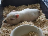 We have two male micro mini pigs for sale. They are 9