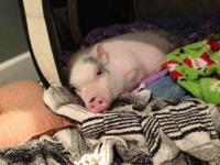 Micro/Juliana mini piglet for sale! He is 13 weeks old