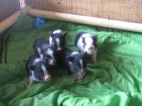 5 super cute Tiny Pot Belly Pigs to choose from.