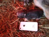 I have a new litter of micro potbellied pigs for